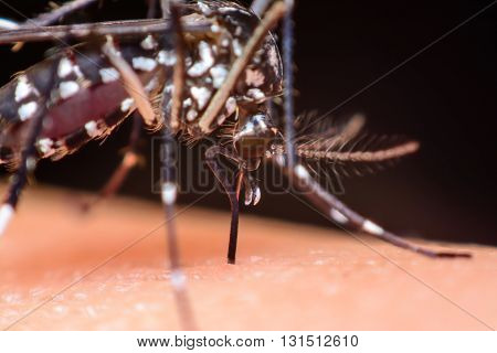 Close-up of a mosquito sucking blood, Mosquito