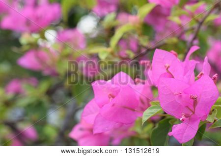 Pink Bougainvillea blooming beautifully in the garden