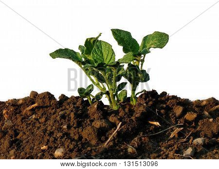 young plant potato sprouting from clay on a white background