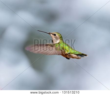 Ruby Throated Hummingbird female, after its long migration from the south to the north. Hovering in space in a boreal forest in Quebec Canada.