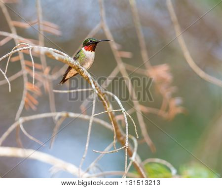 Ruby Throated Hummingbird male, after its long migration from the south to the north. Perched on an evergreen in a boreal forest in Quebec Canada.