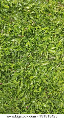 lush green baffalo grass as a lawn