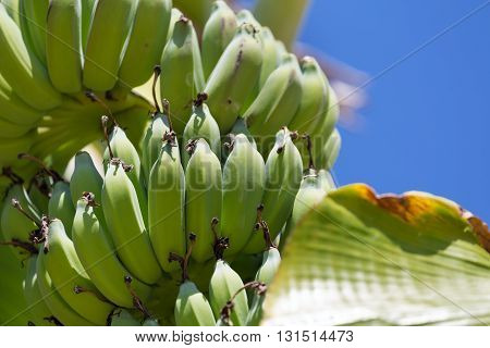 Organic Banana Bunch On Tree