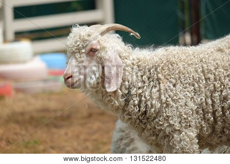 angola sheep in zoo in park in thailand
