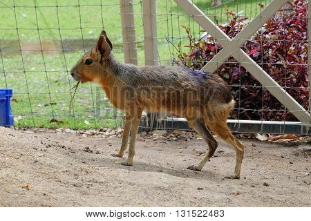 Patagonian mara, rodent animal (Rodent)  in park in thailand