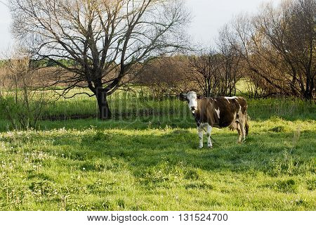 Cow in a pasture in the outdoors in the open air