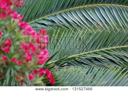 Pin oleander flowers and palm leaf background