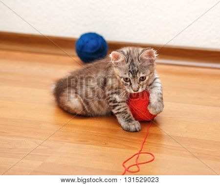 Kuril Bobtail kitten Gray caught a ball of yarn. Thoroughbred cat. Cute and funny kitten. Pet.