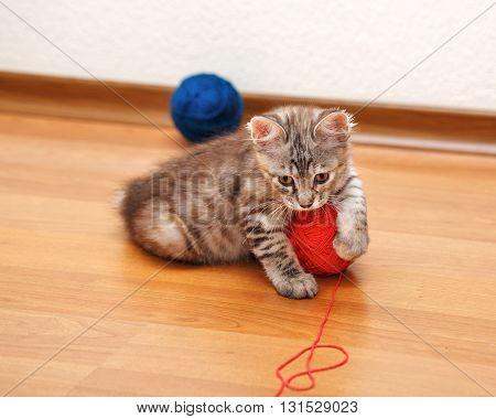 Kuril Bobtail kitten Gray caught a ball of yarn. Thoroughbred cat. Cute and funny kitten. Pet.