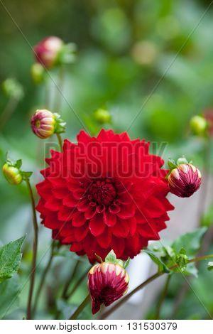 Dahlia red flower in garden full bloom closeup