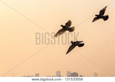 Three doves flying in the orange evening sky with house silhouettes in the distance