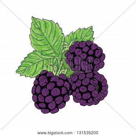 berry blackbery on a white background, vector illustration