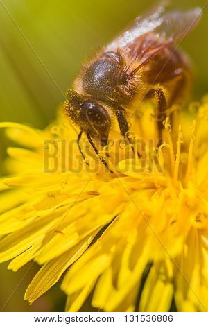 Bee on dandelion on summer day -Macro