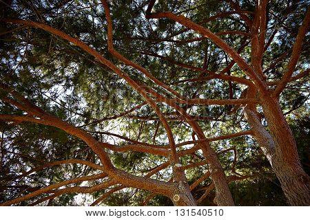 Cedar tree against beautiful sky, Los Angeles California