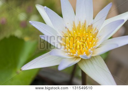 Close-up White Lotus Flower And Lotus Leaf Background