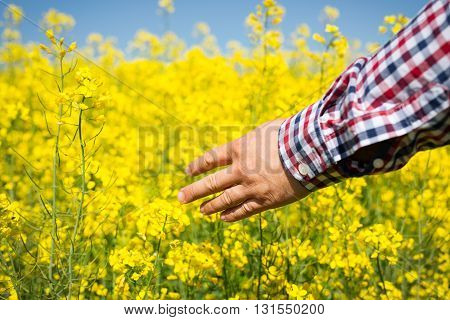 farmer inspect quality of yellow canola field