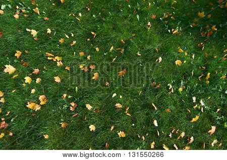 Green grass with lot yellow maple leaves