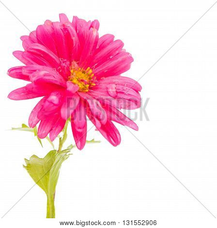 nature pink aster isolated on white background