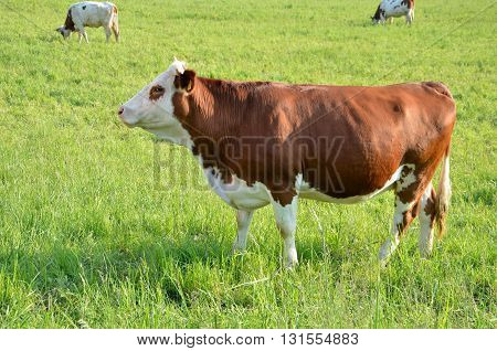 Herd of brown white cows feed on grass in sunshine on the green summer pasture