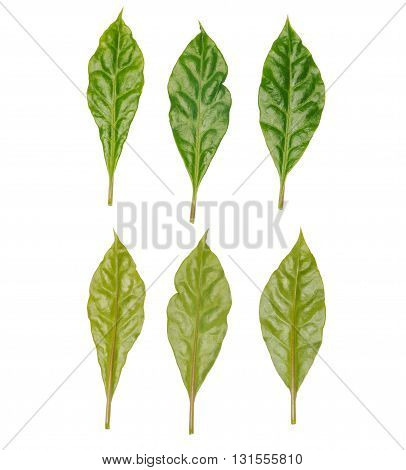 six leaves front and rear side isolated on white background