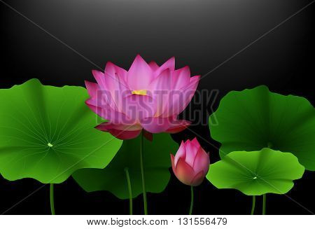 Vector illustration of Pink Lotus flower with green leaves on black background