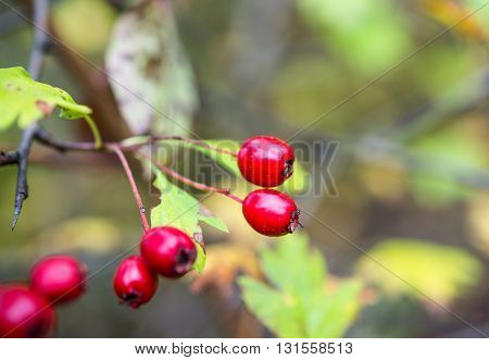 color, crataegus, crop Hawthorn fruits on the branch