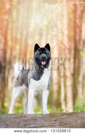 american akita dog posing in the forest