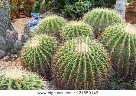 Group of cactus flower in garden. . .