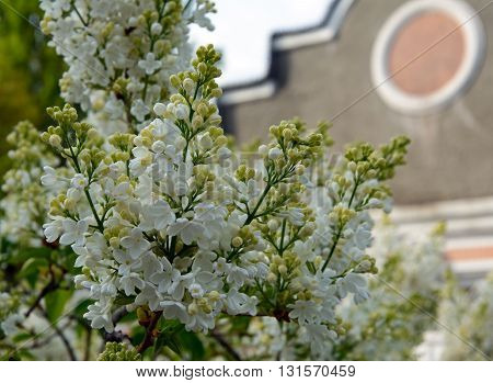 flowering branches of white lilac near the old house