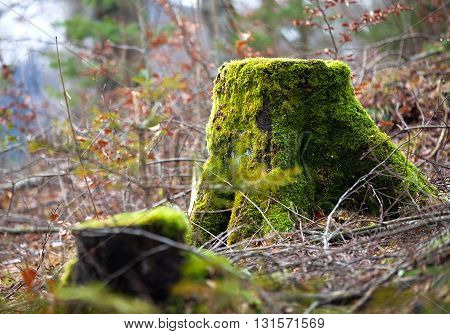 Alone mossy stump in the winter forest