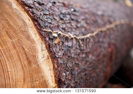 Dried ivy on felled pine trunk in a forest