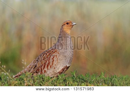 Grey partridge in a beautiful sunlight, bright colors, contrast photo