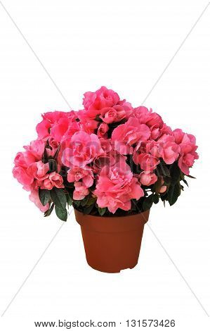 pink azalea in a pot isolated white background