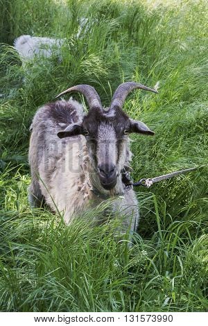 goat gray-brown color in thick grass with a goat in the background