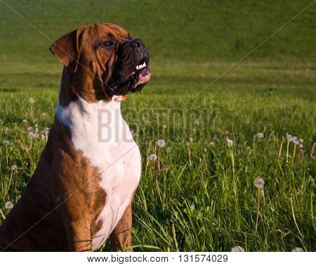 the dog breed the boxer, a sunny day, the blue sky, sits on a grass, a grass on a background