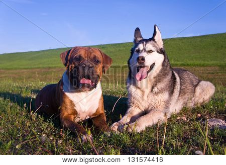 two dogs, lies on a grass