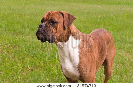 one dog, breed the boxer, brown color, standing in the field, a green grass on a background