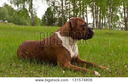 the dog breed the boxer, walks outdoors, brown, the green grass, lies on a grass,  trees on a background, a green grass on a background,