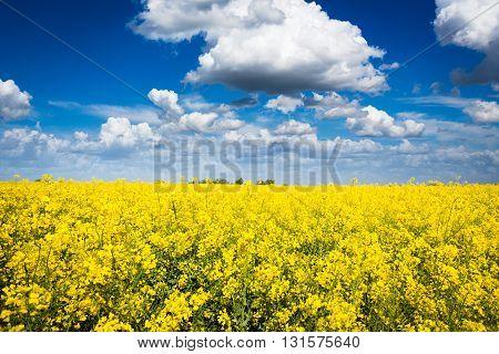 canola field on a sunny blue sky day