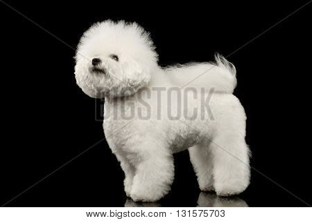 Purebred white Bichon Frise Dog Standing and Looking up isolated Black Background