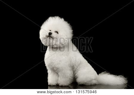 Purebred white Bichon Frise Dog Sitting and Looking up isolated Black Background Side view