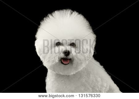 Closeup Portrait of Purebred White Bichon Frise Dog happy looking in Camera isolated Black Background