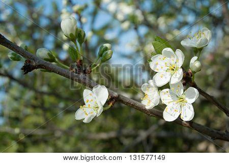 White Apple Flowers Under Spring Sunlight
