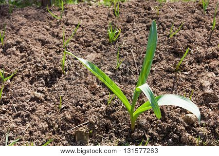 Young Green Sprout In Brown Soil