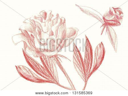 Red peonies with fishnet petals leaves and a bud. Drawing colored pencil.
