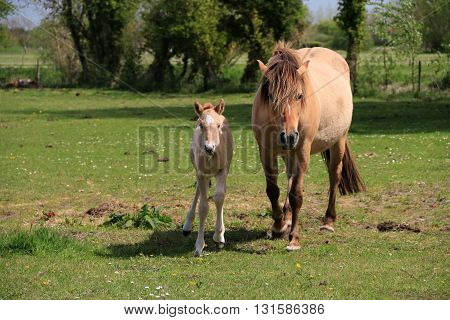 The mare and its fawn trotting on the grass ,