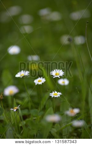 Closeup of little chamomile flowers in grass