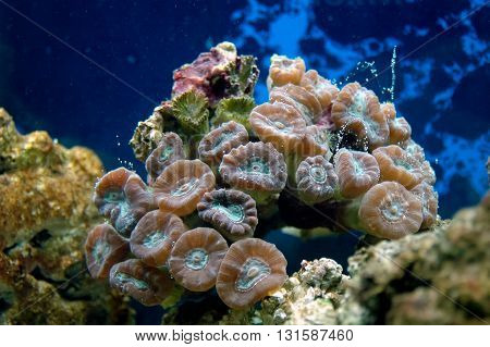 Coral (lobophyllia Sp.)