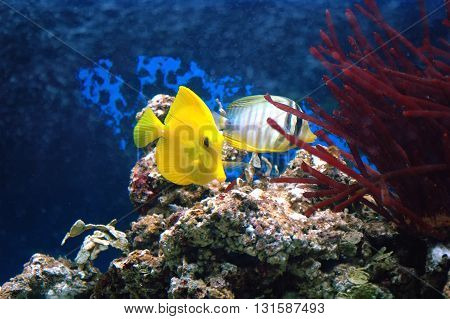 Yellow Tang (zebrasoma Flavescens) And Sealfin Tang (zebrasoma Veliferum)