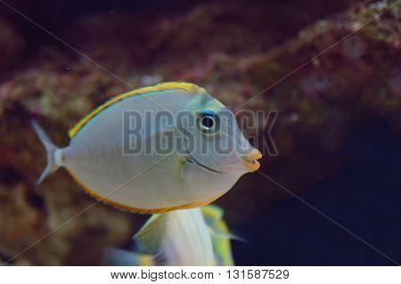 Naso Tang (naso Lituratus)